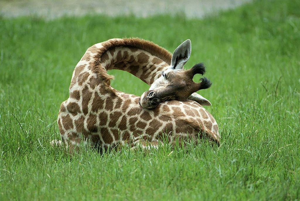 Sleeping-giraffe-3