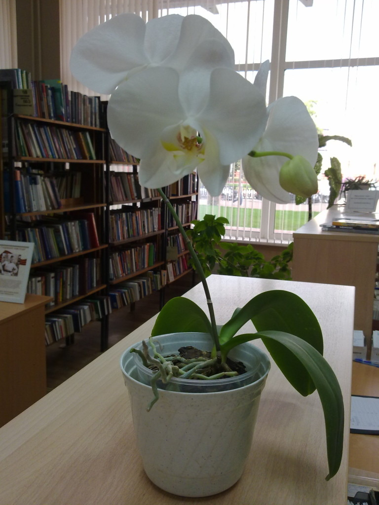 орхидея лето 002